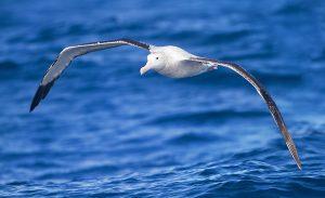 De Albatros (Diomedea exulans)